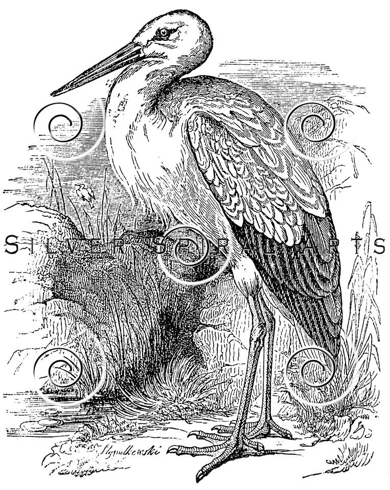 Vintage Stork Birds Illustration - 1800s Storks Bird Images