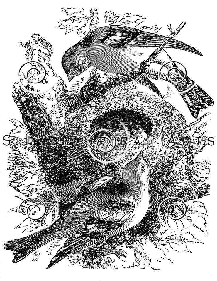 Vintage Birds and Eggs Nest Illustration - 1800s Bird Images.