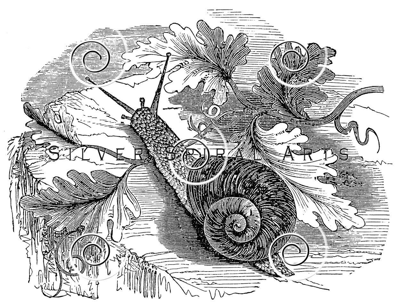 Vintage Snail Illustration - 1800s Snails Images