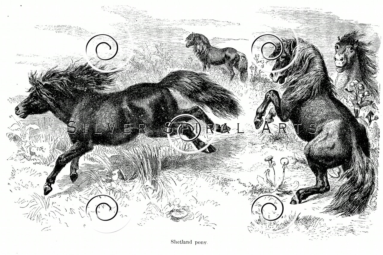 Vintage Shetland Ponies Illustration - 1800s Horse Images.