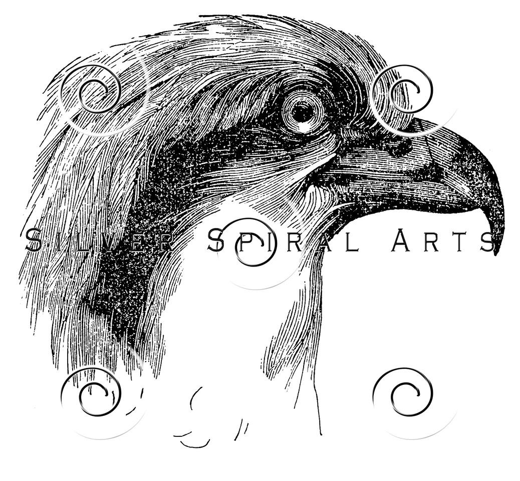Vintage Osprey Bird Illustration - 1800s Birds Claw Images
