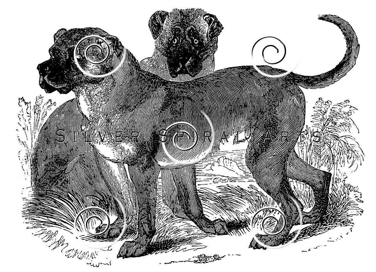 Vintage Mastiff Dogs Illustration - 1800s Dog Images