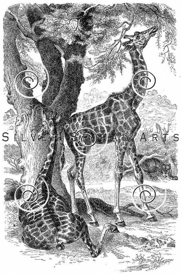 Vintage Giraffes Illustration - 1800s Giraffe Images.