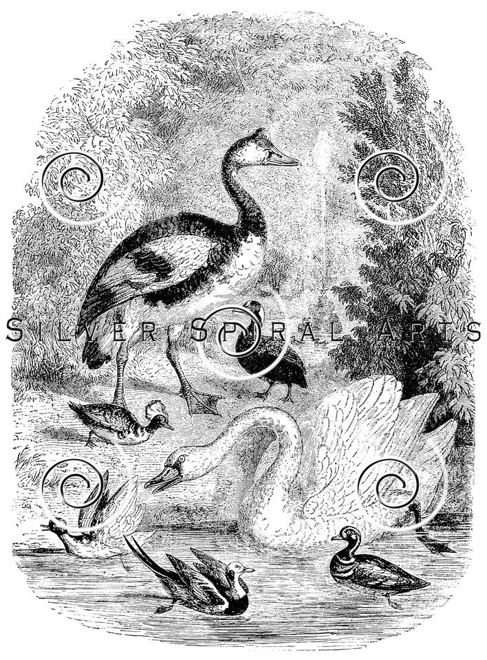 Vintage Waterfowl Birds Illustration - 1800s Swan Duck Bird Images
