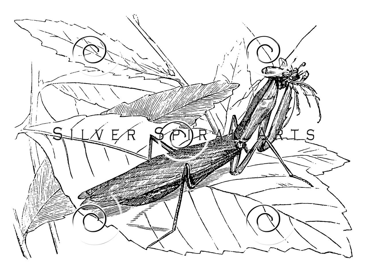 Vintage Praying Mantis Illustration - 1800s Insect Images