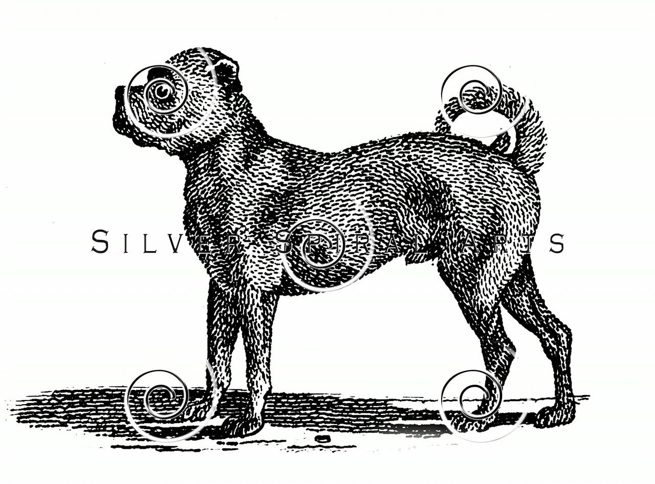 Vintage Pug Dog Illustration - 1800s Dogs Images.