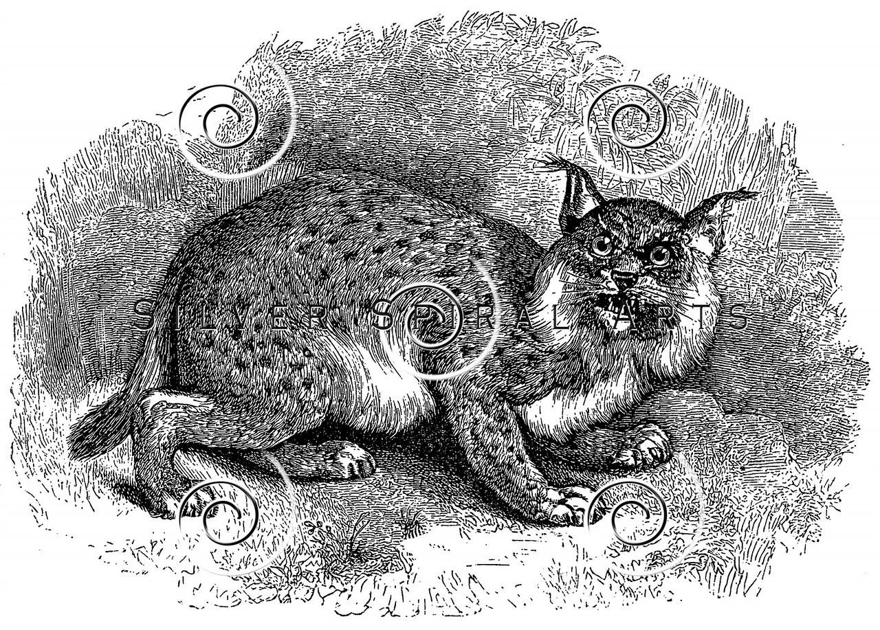 Vintage Bobcat Lynx Illustration - 1800s Bobcats Images