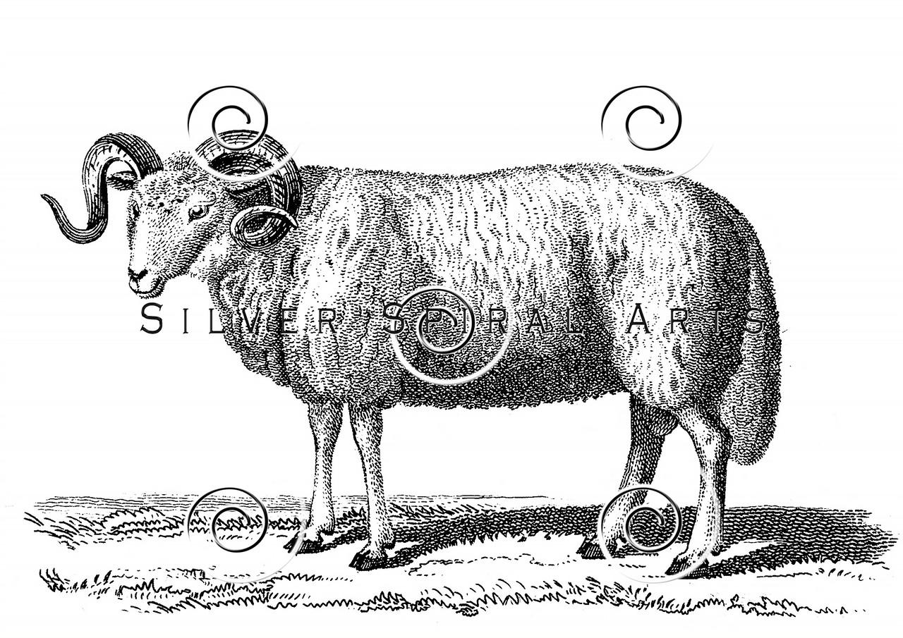 Vintage Sheep Illustration - 1800s Ram Images.