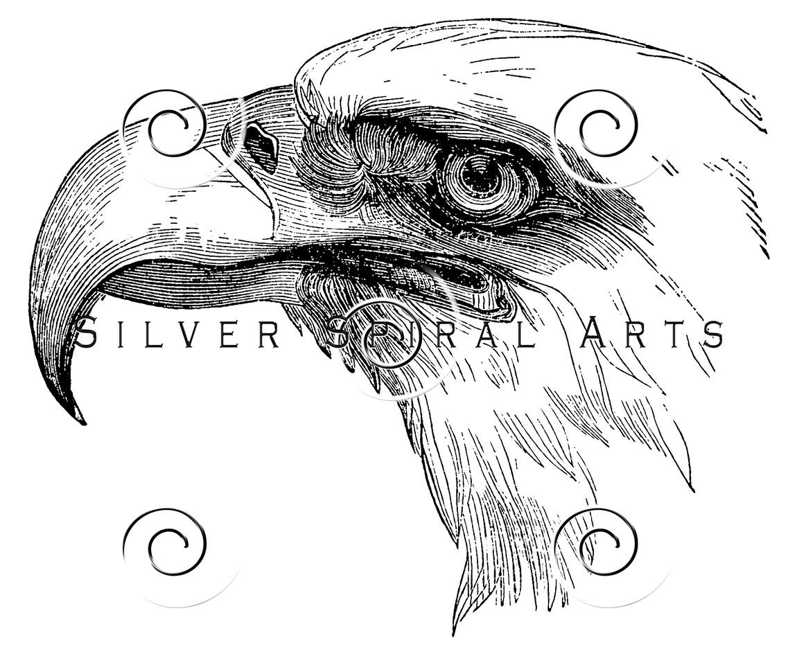 Vintage Bald Eagle Bird Illustration - 1800s Birds Claw Images