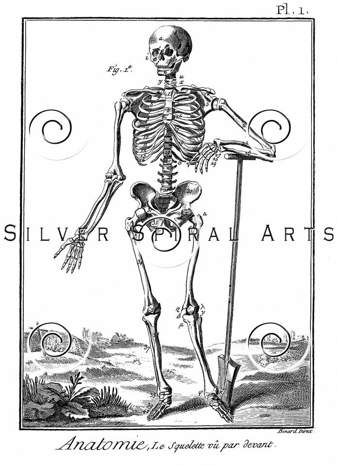 Vintage Skeleton Illustration - 1700s Anatomy Bones Images.