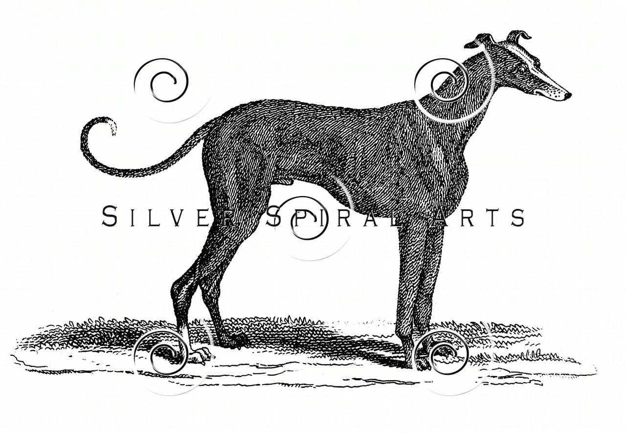 Vintage Greyhound Dog Illustration - 1800s Dogs Images.