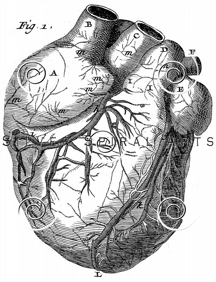Vintage Heart Diagram Illustration - 1800s Medical Anatomy Images.