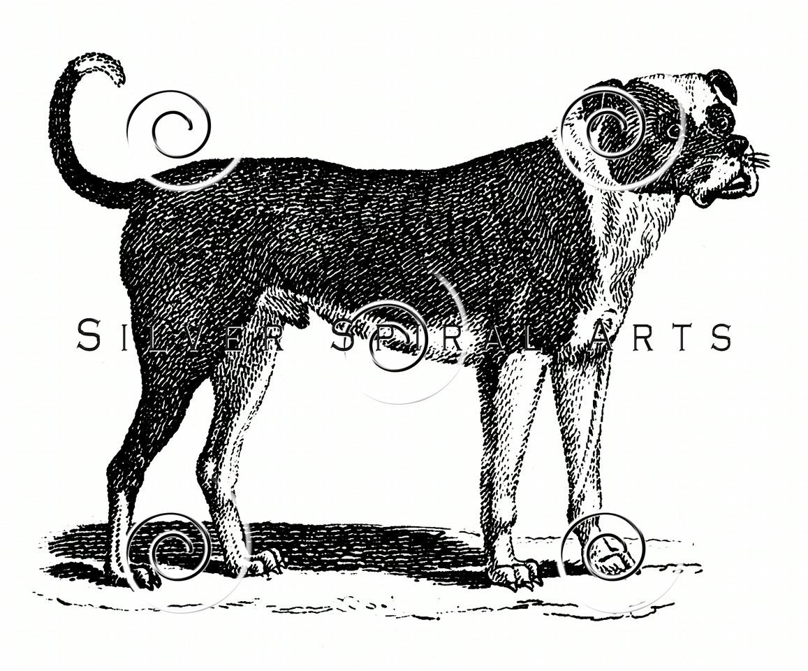 Vintage Bulldog Illustration - 1800s Dogs Images.