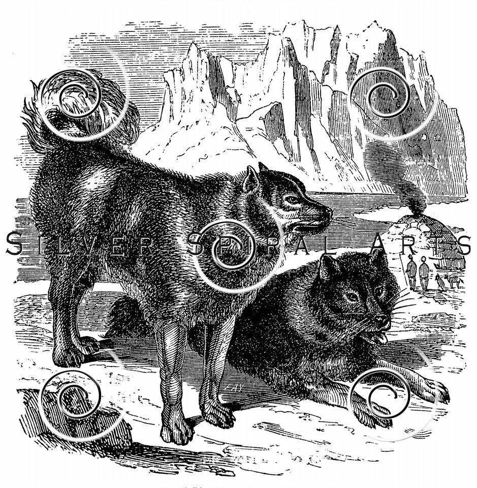 Vintage Sled Husky Dogs Illustration - 1800s Huskies Images