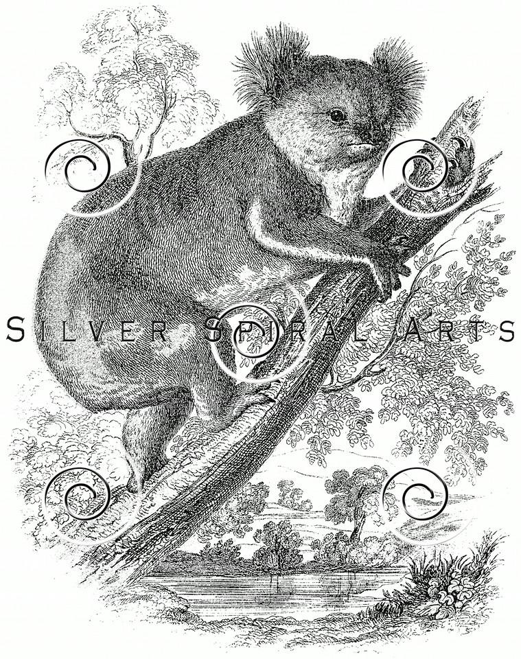 Vintage Koala Bear Illustration - 1800s Koalas Images.