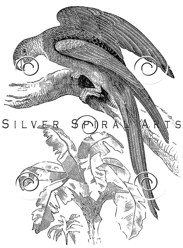 Vintage Parrot Birds Illustration - 1800s Parrots Bird Images