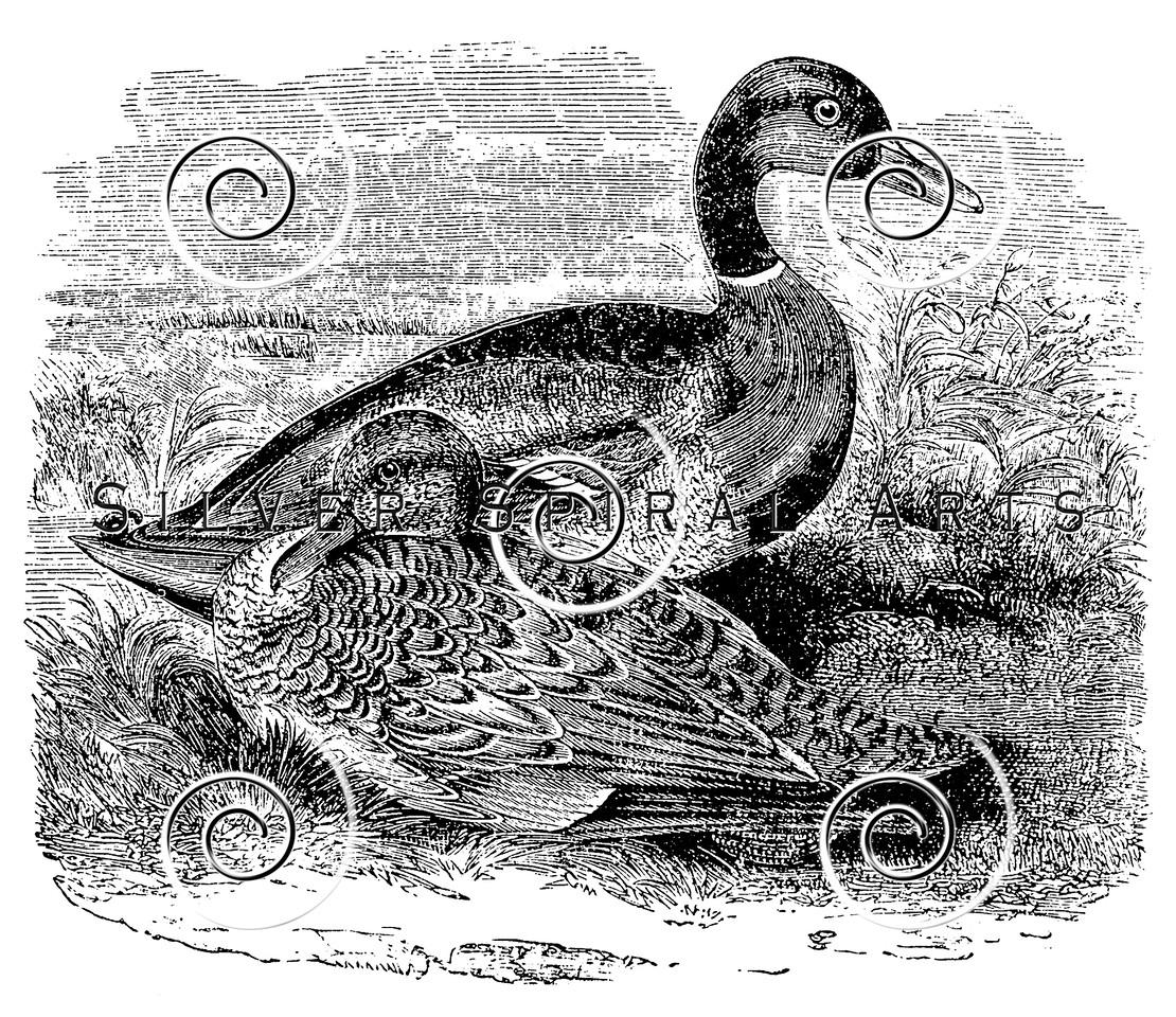 Vintage Mallard Ducks Illustration - 1800s Duck Bird Images