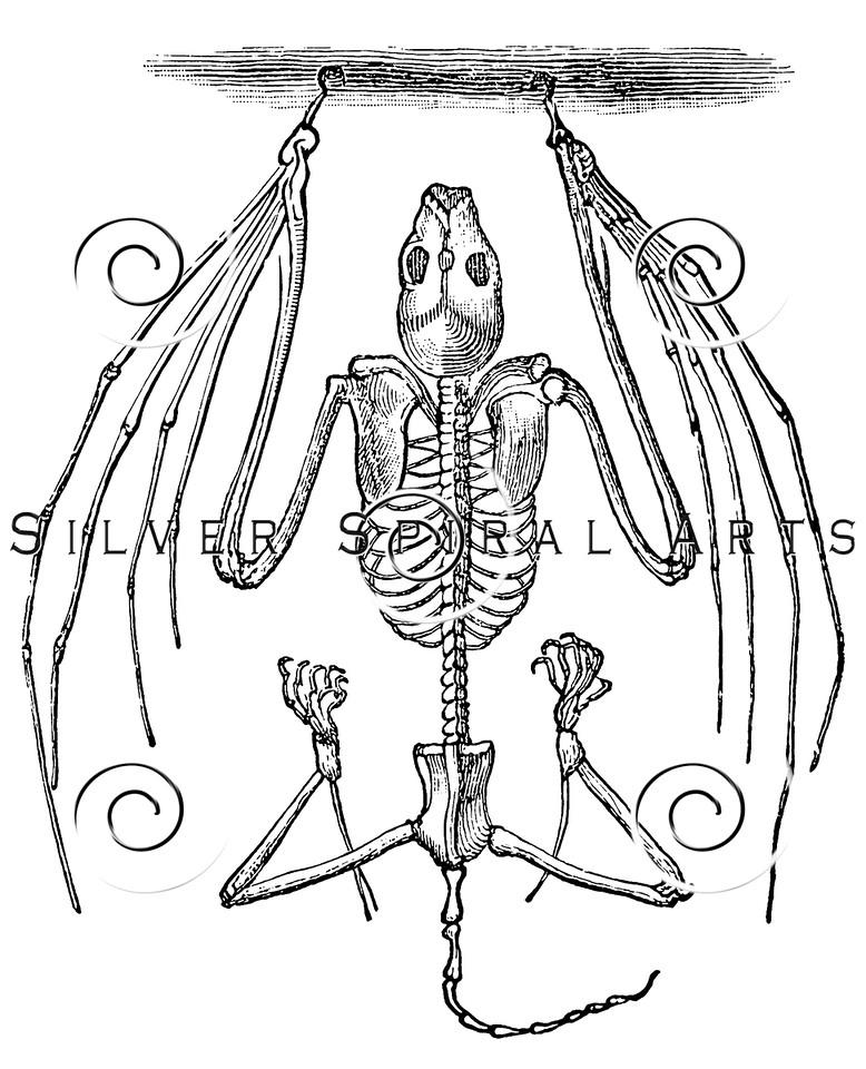 Vintage Bat Skeleton Illustration - 1800s Anatomy Images.