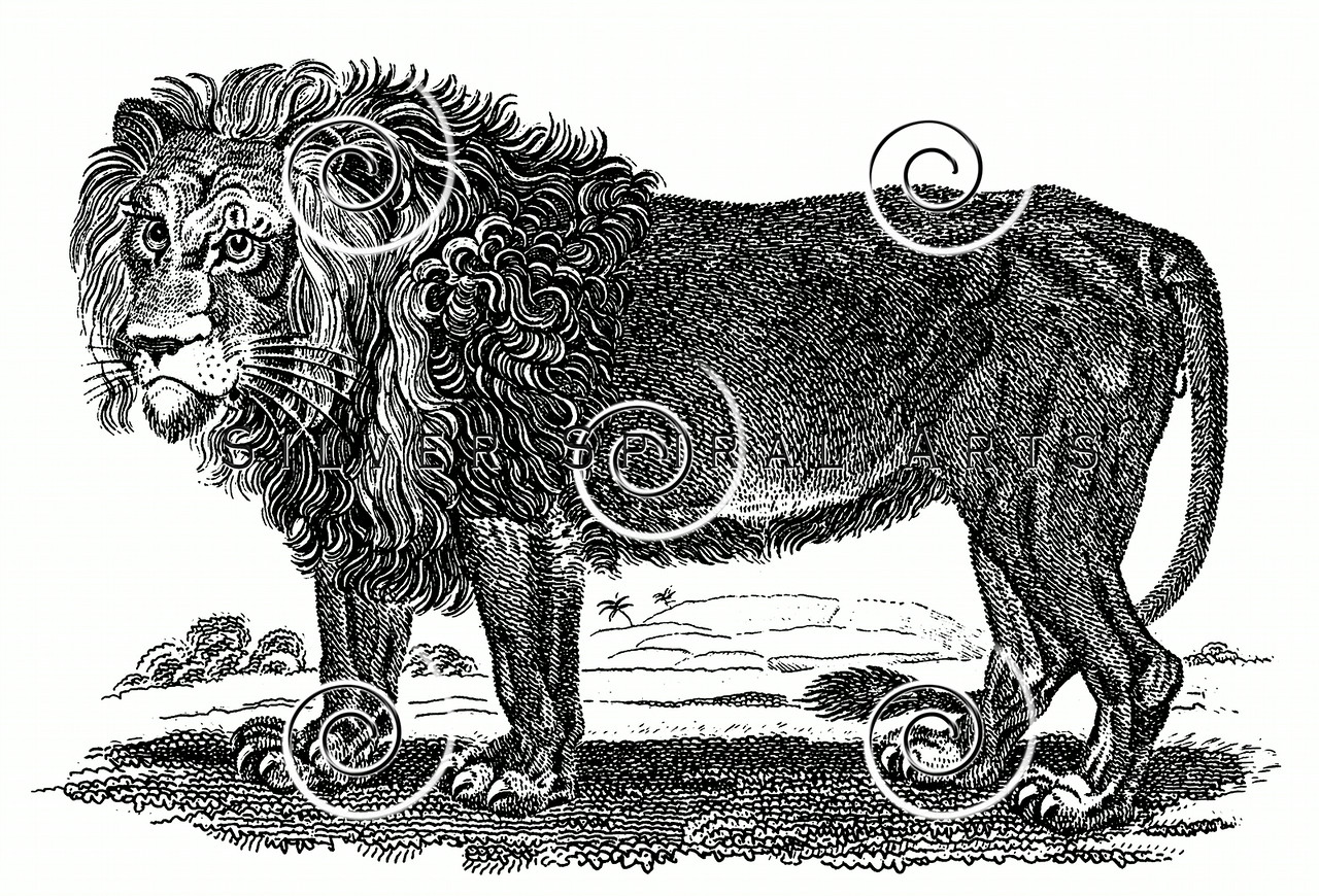 Vintage Lion Illustration - 1800s Lions Images.