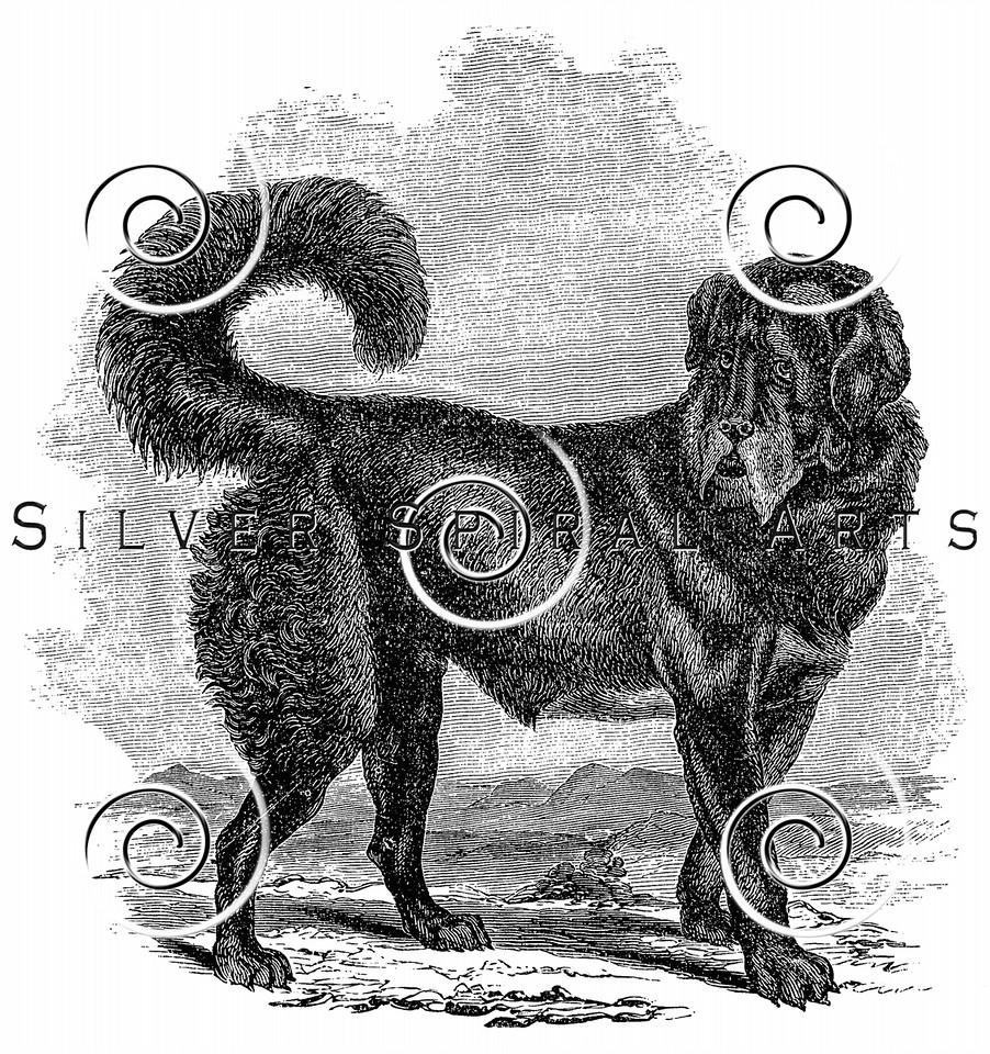 Vintage Black Mastiff Dog Illustration - 1800s Dogs Images