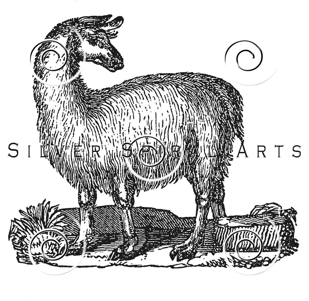Vintage Llama Illustration - 1800s Llamas Images.