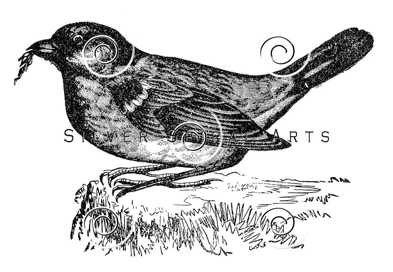 Vintage Bird Illustration - 1800s Bird Images.