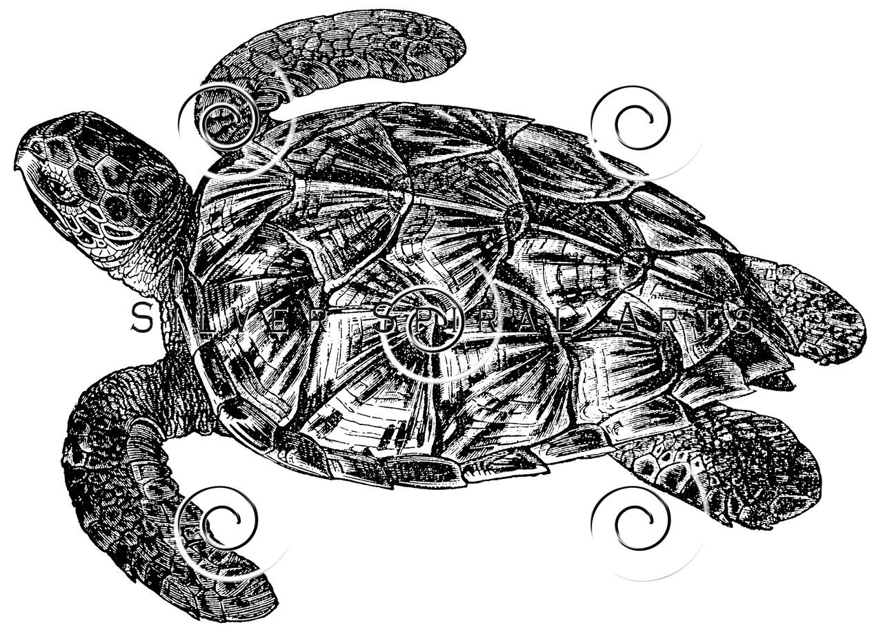 Vintage Sea Turtle Illustration - 1800s Turtles Images