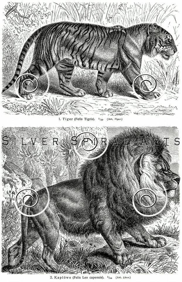 Vintage Lion and Tiger Illustration - Animals Images.