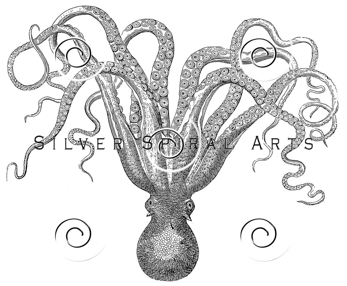 Vintage Cuttlefish Illustration - 1800s Marine Fish Images