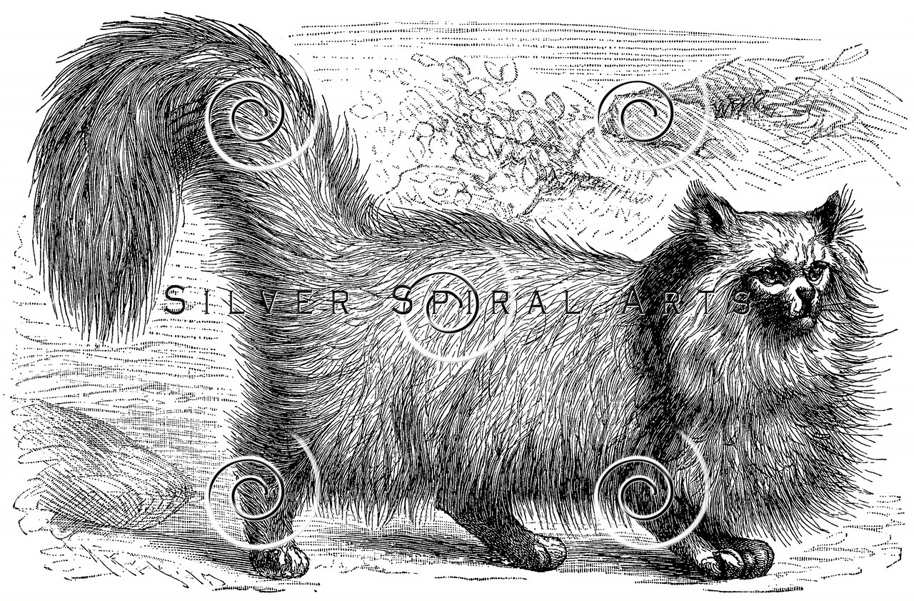 Vintage Angora Cat Illustration - 1800s Cats Images.