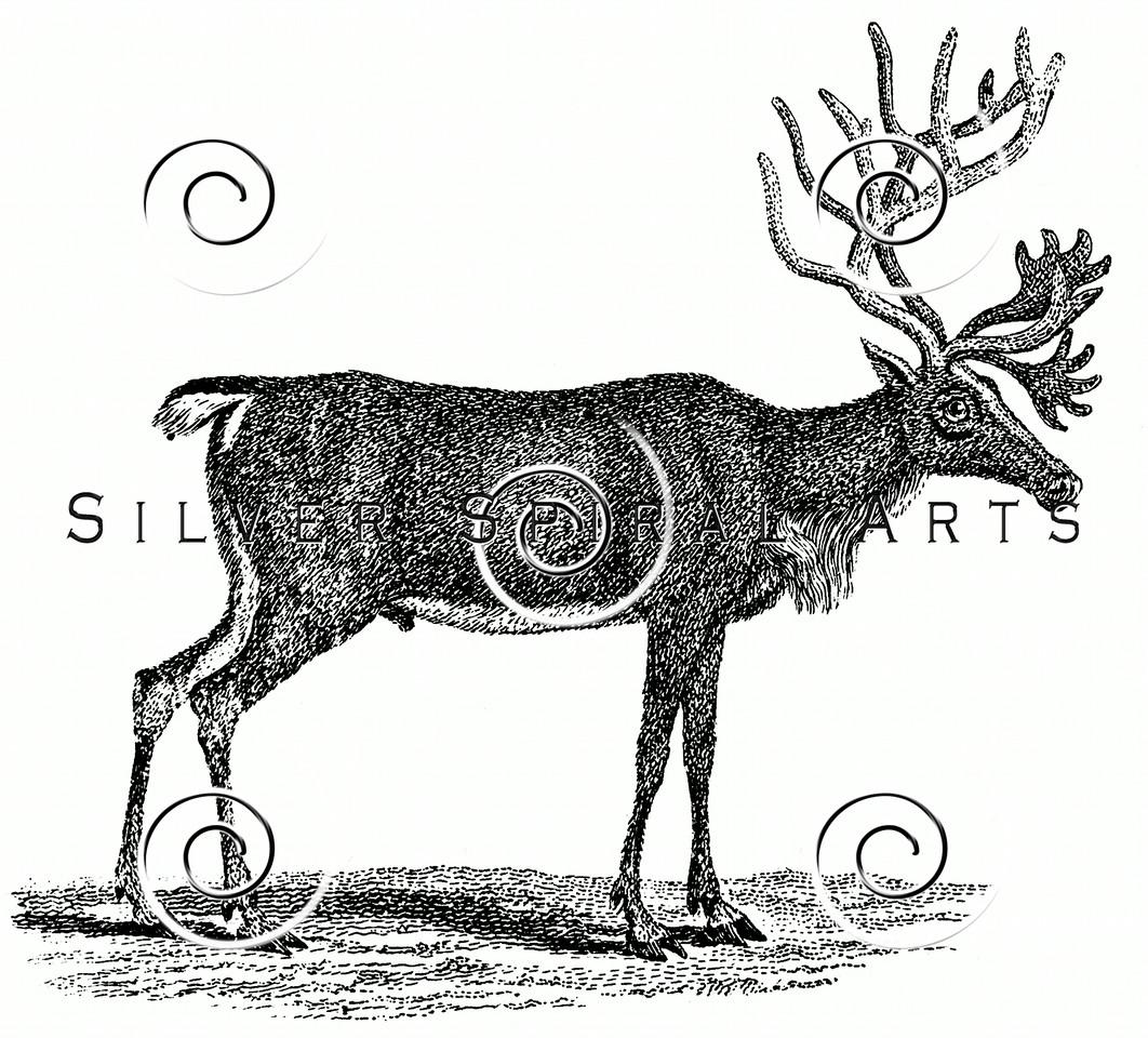 Vintage Reindeer Illustration - 1800s Deer Stag Images.