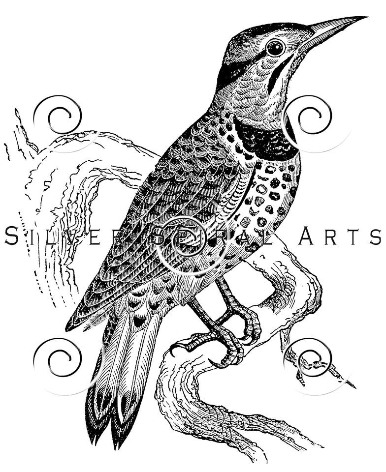 Vintage Woodpecker Birds Illustration - 1800s Woodpeckers Bird Images