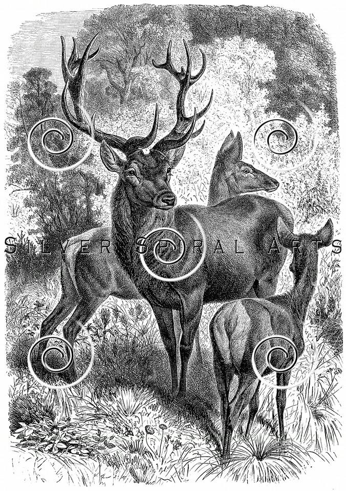 Vintage Deer Illustration - 1800s Stag Buck Images.