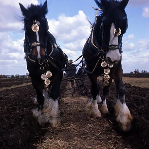 1977 : Ploughing Match At Haddenham