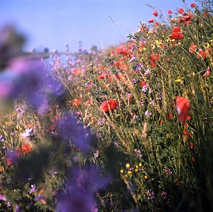 1977 : Wild Flowers On The Twenty Foot Riverbank