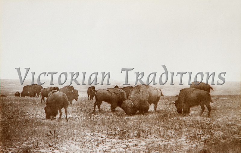 """1880 Northern Montana"" -- the last wild herd of buffalo or American Bison. Photographed L.A. Huffman, and published by him in 1913. This <a href=""http://historical.ha.com/c/item.zx?saleNo=679&lotNo=72544"">original photo</a> is now restored and in the copyrighted collection of The Stock Solution. Prints are available for purchase by clicking on the ""Buy"" button (top right). Huffman was an Eastern Montana photographer who's photographs range from 1879 - 1931 (when he died at the age of 77). Here is a photo-postcard he issued in 1907 showing the killing of several <a href=""http://www.lahuffman.com/images/killing-cows&spikes.jpg"">cows and spike buffalo</a>. It was from this Montana/Wyoming herd that a final 23 individuals took shelter in the Pelican Valley area of Yellowstone. It is from these last survivors that the current herd of Yellowstone bison descended!"