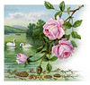 "Roses and swans - a 1917 vintage greeting card illustration. This image is available in 1-megapixel, 4-megapixel, and the ""Original"" download sizes. (To purchase prints or downloads, click on the ""Buy"" or shopping cart button above the image; then choose ""This Photo"", followed by clicking on the 'Prints', 'Merchandise', or 'Downloads' tab.)"