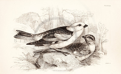 Vintage 1800s Sepia Illustration of Snow Bunting Birds from CAGE & CHAMBER BIRDS by J.M. Bechstein.  The natural patina, age-toning, imperfections, and old paper antiquing of this vintage 19th century illustration are preserved in this image.