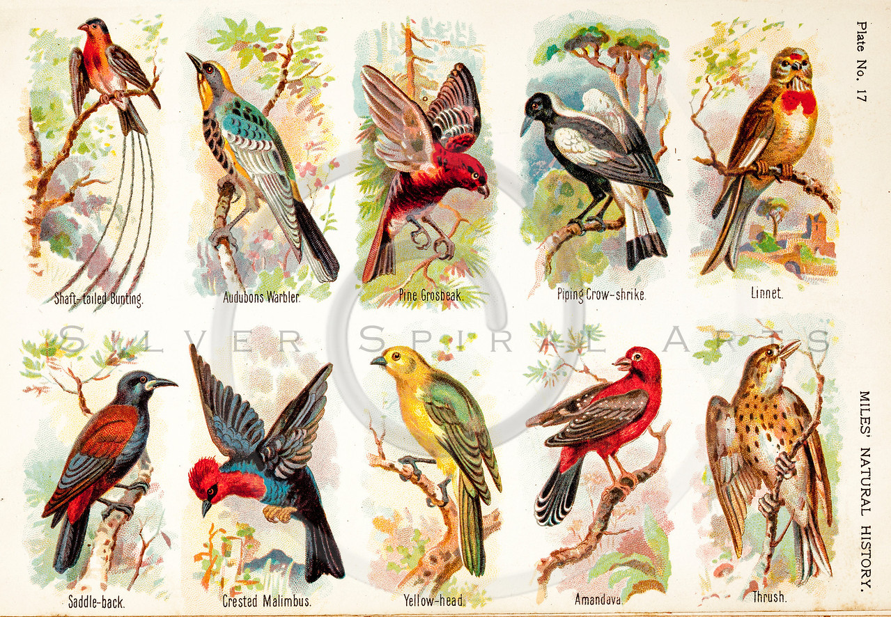 Vintage 1800s Color Illustration of Birds - FIVE HUNDRED FASCINATING ANIMAL STORIES by Alfred Miles.