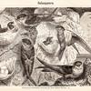 Vintage Swiftlet Birds Illustration - 1800s Bird Images.