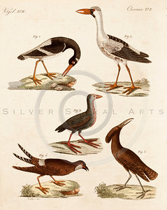 Vintage 1700s Color Bird Illustration from BILDERBUCH by F.J. Bertuch.  The natural patina, age-toning, imperfections, and old paper antiquing of this vintage 18th century illustration are preserved in this image.
