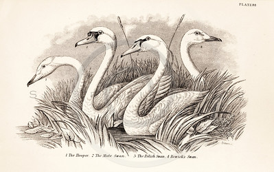Vintage 1800s Sepia Illustration of Swans from CAGE & CHAMBER BIRDS by J.M. Bechstein.  The natural patina, age-toning, imperfections, and old paper antiquing of this vintage 19th century illustration are preserved in this image.
