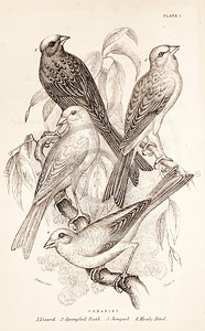 Vintage 1800s Sepia Illustration of Canary Birds from CAGE & CHAMBER BIRDS by J.M. Bechstein.  The natural patina, age-toning, imperfections, and old paper antiquing of this vintage 19th century illustration are preserved in this image.