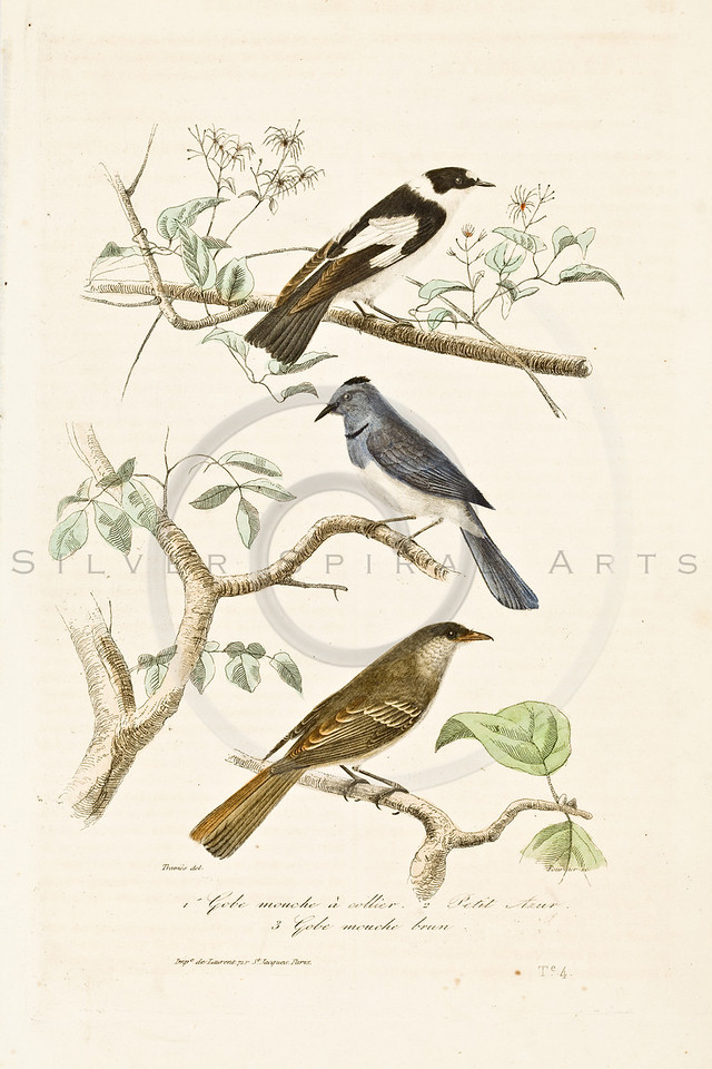 D'Orbigny Birds: Vintage Color Illustration from the mid 1800's