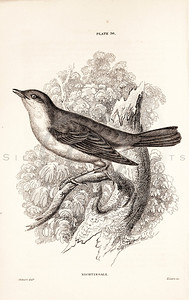 Vintage 1800s Sepia Illustration of Nightingale Bird from CAGE & CHAMBER BIRDS by J.M. Bechstein.  The natural patina, age-toning, imperfections, and old paper antiquing of this vintage 19th century illustration are preserved in this image.