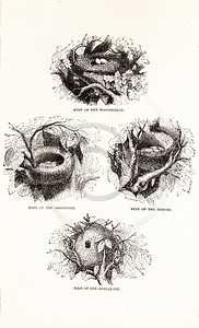 Vintage 1800s Sepia Illustration of Bird Nests from CAGE & CHAMB