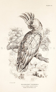 Vintage 1800s Sepia Illustration of Cockatoo Bird from CAGE & CHAMBER BIRDS by J.M. Bechstein.  The natural patina, age-toning, imperfections, and old paper antiquing of this vintage 19th century illustration are preserved in this image.