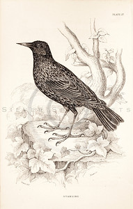 Vintage 1800s Sepia Illustration of Starling Bird from CAGE & CHAMBER BIRDS by J.M. Bechstein.  The natural patina, age-toning, imperfections, and old paper antiquing of this vintage 19th century illustration are preserved in this image.