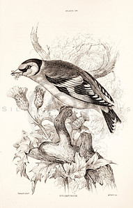 Vintage 1800s Sepia Illustration of Gold Finch Bird from CAGE & CHAMBER BIRDS by J.M. Bechstein.  The natural patina, age-toning, imperfections, and old paper antiquing of this vintage 19th century illustration are preserved in this image.
