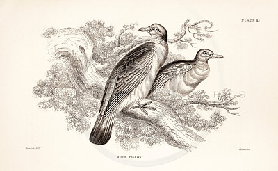 Vintage 1800s Sepia Illustration of Wood Pigeon Birds from CAGE